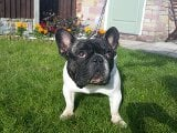 Photo Quality Pied French Bulldog For Stud